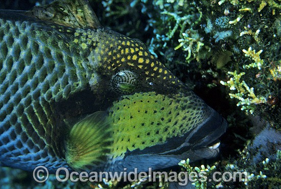 Titan Triggerfish aerating egg cluster