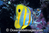 Beaked Coralfish Chelmon rostratus photo