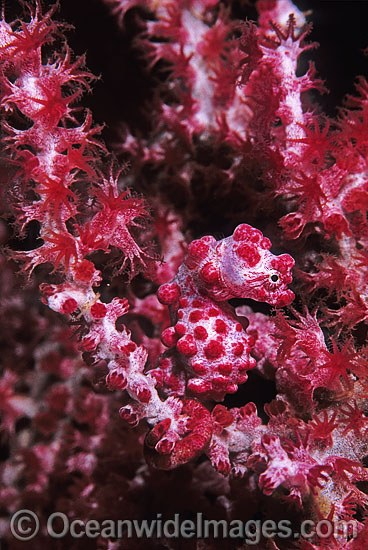 Pygmy Seahorse (Hippocampus bargibanti) on Gorgonian Fan Coral. Indo-Pacific