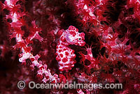 Pygmy Seahorse on Fan Coral Photo - Gary Bell