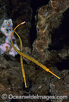 Yellow-banded Pipefish Dunckerocampus pessuliferus Photo - Gary Bell