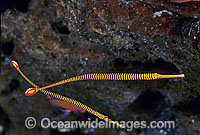 Yellow-banded Pipefish Photo - Gary Bell