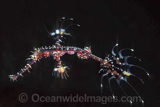 Harlequin Ghost Pipefish (Solenostomus paradoxus) - juvenile. Also known as Ornate Ghost Pipefish. Indo-Pacific
