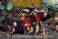 Twin-spot Lionfish Dendrochirus biocellatus photo