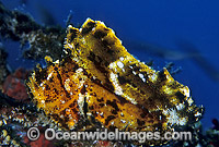 Leaf Scorpionfish Taenianotus triacanthus Photo - Gary Bell