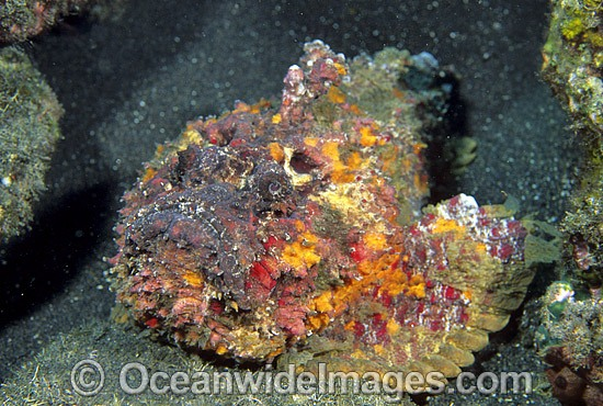 Extremely venomous Reef Stonefish (Synanceia verrucosa). This species is the most venomous of known fish, possessing venom glands at the base of each needle sharp dorsal spine. Found throughout the Indo-West Pacific. Photo Bali, Indonesia