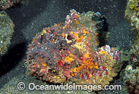 Extremely venomous Reef Stonefish Photo - Gary Bell