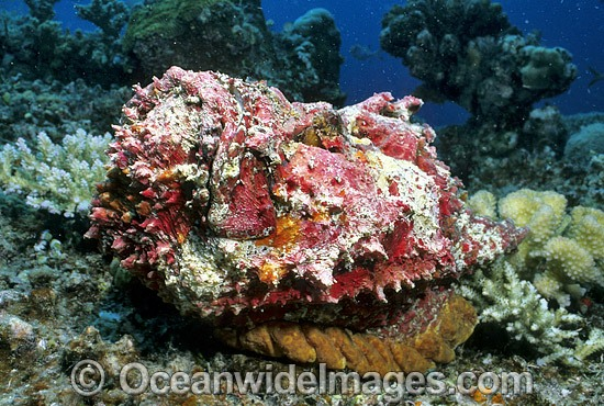 Extremely venomous Reef Stonefish (Synanceia verrucosa). Great Barrier Reef, Queensland, Australia