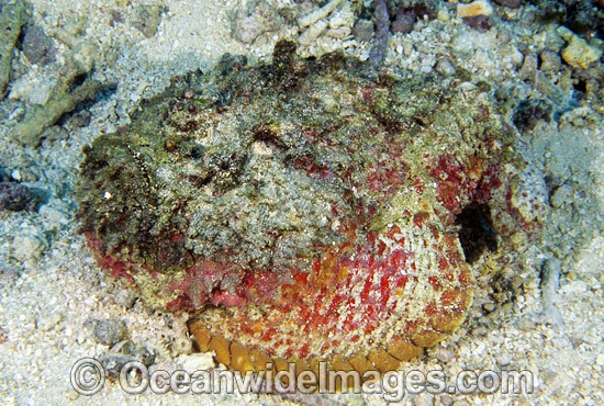 Extremely venomous Reef Stonefish (Synanceia verrucosa). Great Barrier Reef, Queensland, Australia Photo - Gary Bell