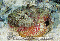 Reef Stonefish Synanceia verrucosa Photo - Gary Bell