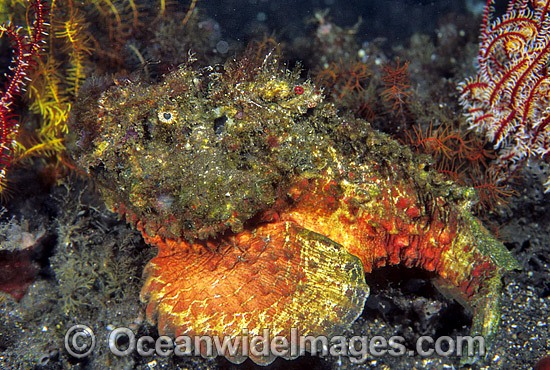 Reef Stonefish photo