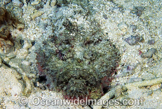 Extremely venomous Estuarine Stonefish (Synanceia horrida) in hunting mode, buried in sand with head protruding. Great Barrier Reef, Queensland, Australia
