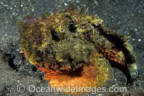 Extremely venomous Reef Stonefish (Synanceia verrucosa). This species is the most venomous of known fish, possessing venom glands at the base of each needle sharp dorsal spine. Found throughout the Indo-West Pacific. Photo Bali, Indonesia Photo - Gary Bell
