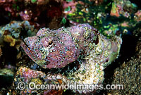 False Stonefish Scorpaenopsis diabolus photo