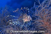 Common Lionfish Pterois volitans