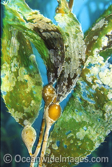 Giant Kelp (Macrocystis pyrifera) showing detail of Gas filled floats and Strap Leaves. Also known as Strap Kelp. Tasman Peninsula, Tasmania, Australia