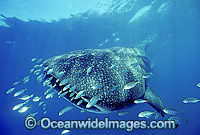 Whale Shark with Trevally around head Photo - Gary Bell