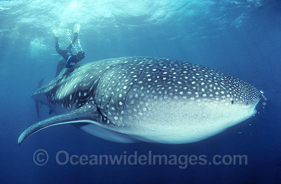 Diver and Whale Shark (Rhincodon typus). Image was taken in 1988 when little was known about whale sharks. Touching whale sharks is now considered inappropriate behavior. Whale Sharks are found in tropical and warm-temperate seas. Classified Vulnerable. Photo - Gary Bell