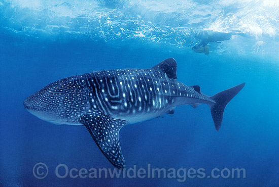 Whale Shark (Rhincodon typus) and Scuba Diver. Indo-Pacific. Found throughout the world in all tropical and warm-temperate seas. Classified Vulnerable on the IUCN Red List. Photo - Gary Bell