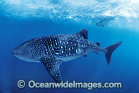 Whale Shark with Scuba Diver Photo - Gary Bell