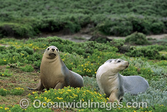 Australian Sea Lions (Neophoca cinerea) - cows. Anvil Island, Recherche Archipelago Nature Reserve, Esperance, Western Australia. Classified as Endangered on the IUCN Red List.