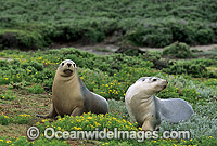 Australian Sea Lions cows Photo - Gary Bell