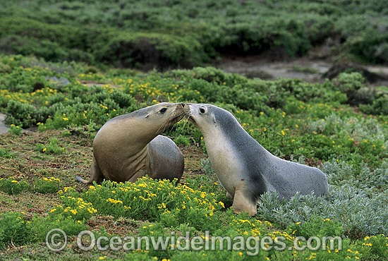 Australian Sea Lions (Neophoca cinerea) - cows. Anvil Island, Recherche Archipelago Nature Reserve, Esperance, Western Australia. Classified as Endangered on the IUCN Red List. Photo - Gary Bell