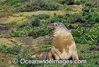 Australian Sea Lion cow
