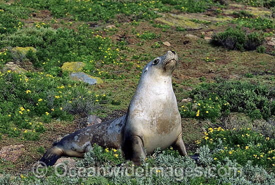 Australian Sea Lion (Neophoca cinerea) - cow. Anvil Island, Recherche Archipelago Nature Reserve, Esperance, Western Australia. Classified as Endangered on the IUCN Red List.