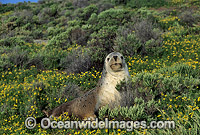 Australian Sea Lion cow Photo - Gary Bell