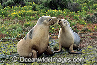 Australian Sea Lions Neophoca cinerea Photo - Gary Bell