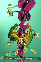 Dainty Tree Frogs Litoria gracilenta on ginger flower Photo - Gary Bell