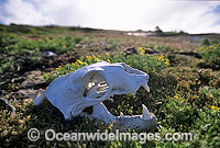 Australian Sea Lion skeletal remains Photo - Gary Bell