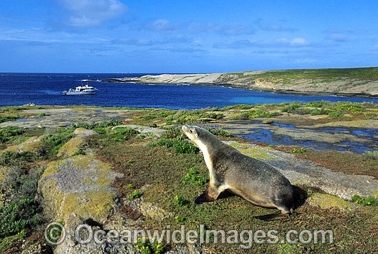 Australian Sea Lion (Neophoca cinerea) - cow. Anvil Island, Recherche Archipelago Nature Reserve, Esperance, Western Australia. Classified as Endangered on the IUCN Red List. Photo - Gary Bell