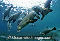 Australian Sea Lions Hopkins Island Photo - Gary Bell