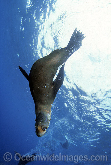 Australian Fur Seal (Arctocephalus pusillus). Montague Island, New South Wales, Australia. Listed as Low Risk on the IUCN Red List.