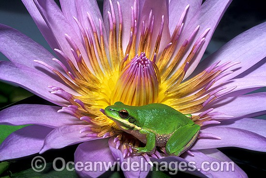 Eastern Dwarf Tree Frog (Litoria fallax) on Water lily flower. Eastern Australia Photo - Gary Bell