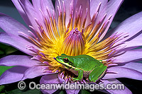 Eastern Dwarf Tree Frog on Waterlily flower Photo - Gary Bell