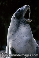 Hooker's Sea Lion cow Photo - Gary Bell