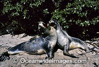 Hooker's Sea Lion two cows Photo - Gary Bell