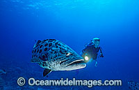 Scuba Diver and Potato Cod Photo - Gary Bell