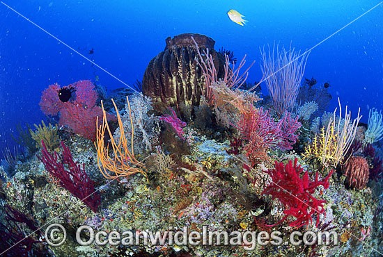 Giant Barrel Sponge, Gorgonian Fan Coral and Whip Coral. Great Barrier Reef, Queensland, Australia Photo - Gary Bell