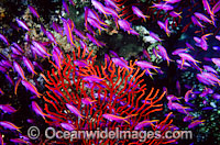Purple Fairy Basslets Gorgonian Fan Coral Photo - Gary Bell