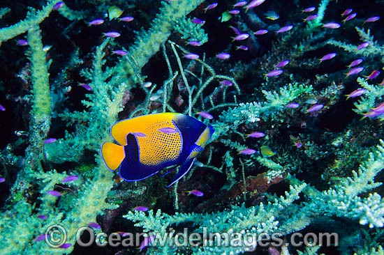 Blue-girdled Angelfish (Pomacanthus navarchus) and schooling juvenile Purple Fairy Basslets (Pseudanthias tuka) amongst branching Acropora Coral. Great Barrier Reef, Queensland, Australia Photo - Gary Bell