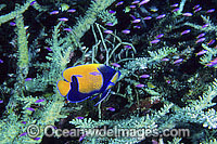 Blue-girdled Angelfish and Fairy Basslets Photo - Gary Bell