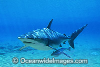 Dusky Shark and Remora Suckerfish Photo - Gary Bell