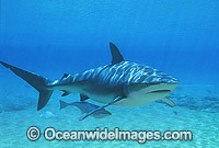 Dusky Shark with Remora Suckerfish