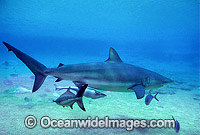 Dusky Shark with Remora Suckerfish Photo - Gary Bell