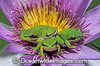 Eastern Dwarf Tree Frogs on waterlily Photo - Gary Bell