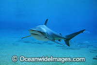 Dusky Shark or Black Whaler Photo - Gary Bell